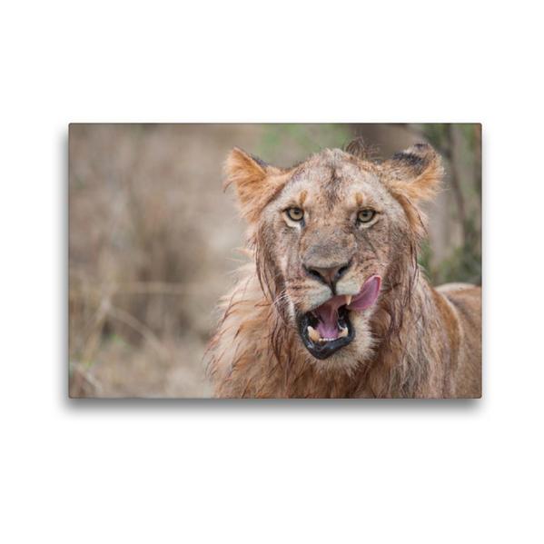 Premium Textil-Leinwand 45 cm x 30 cm quer, Ein Motiv aus dem Kalender Emotionale Momente: Löwengesichter | Wandbild, Bild auf Keilrahmen, Fertigbild auf echter Leinwand, Leinwanddruck - Coverbild