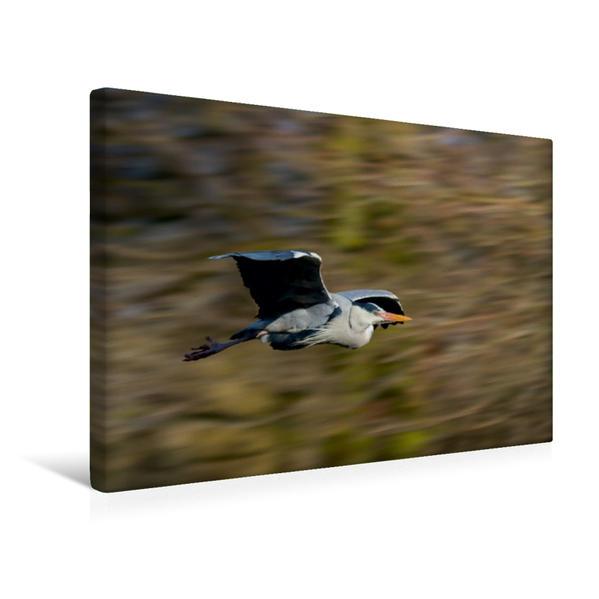 Premium Textil-Leinwand 45 cm x 30 cm quer, Graureiher | Wandbild, Bild auf Keilrahmen, Fertigbild auf echter Leinwand, Leinwanddruck - Coverbild