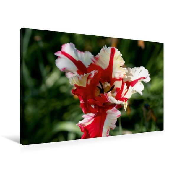 Premium Textil-Leinwand 90 cm x 60 cm quer, Ein Motiv aus dem Kalender Tulpen | Wandbild, Bild auf Keilrahmen, Fertigbild auf echter Leinwand, Leinwanddruck - Coverbild