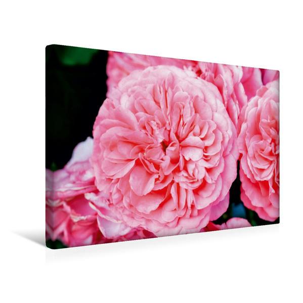 Premium Textil-Leinwand 45 cm x 30 cm quer, Ein Motiv aus dem Kalender Rosen einfach schön | Wandbild, Bild auf Keilrahmen, Fertigbild auf echter Leinwand, Leinwanddruck - Coverbild
