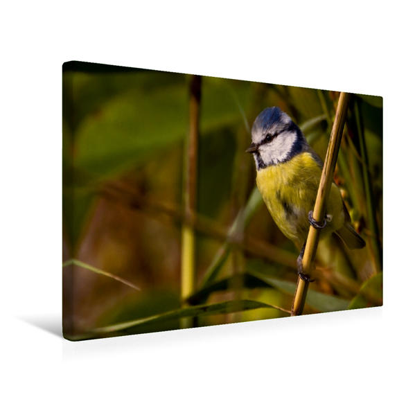 Premium Textil-Leinwand 45 cm x 30 cm quer, Blaumeise (Cyanistes caeruleus) | Wandbild, Bild auf Keilrahmen, Fertigbild auf echter Leinwand, Leinwanddruck - Coverbild