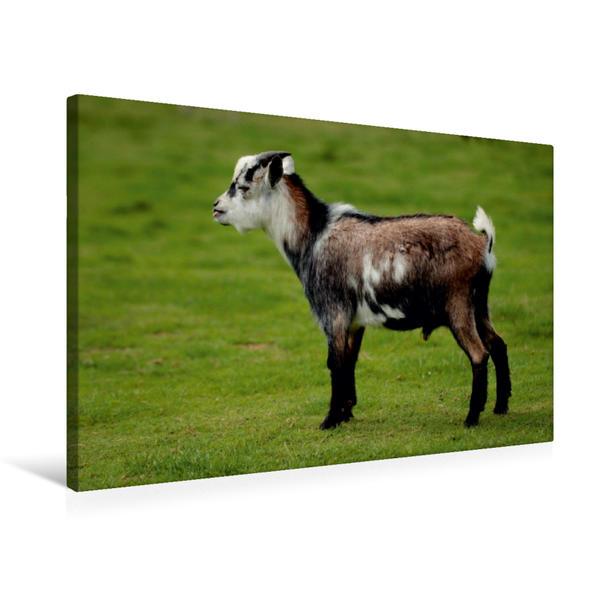 Premium Textil-Leinwand 75 cm x 50 cm quer, Kleines Zicklein | Wandbild, Bild auf Keilrahmen, Fertigbild auf echter Leinwand, Leinwanddruck - Coverbild