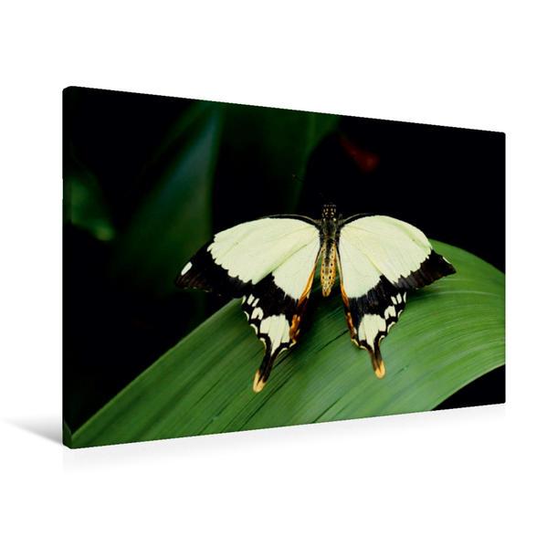 Premium Textil-Leinwand 90 cm x 60 cm quer, Schwalbenschwanz | Wandbild, Bild auf Keilrahmen, Fertigbild auf echter Leinwand, Leinwanddruck - Coverbild