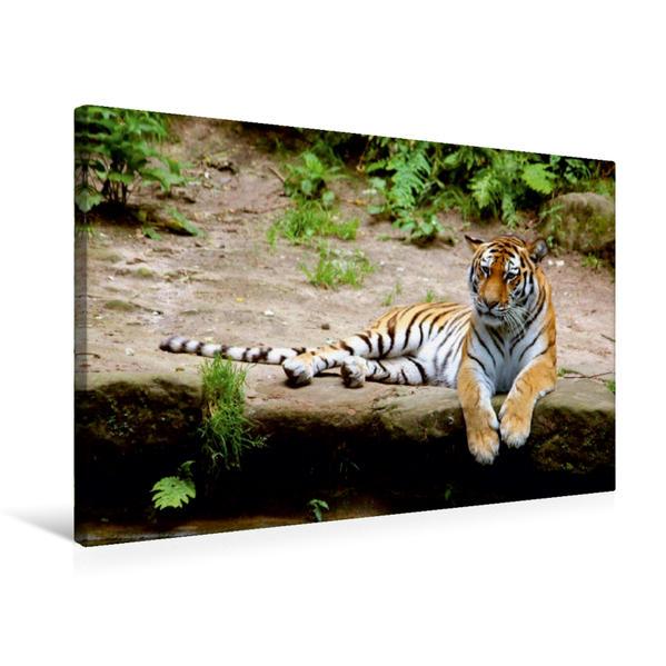 Premium Textil-Leinwand 75 cm x 50 cm quer, Entspannter Tiger   Wandbild, Bild auf Keilrahmen, Fertigbild auf echter Leinwand, Leinwanddruck - Coverbild