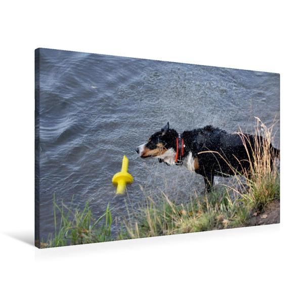 Premium Textil-Leinwand 90 cm x 60 cm quer, Ein Motiv aus dem Kalender Entlebucher Sennenhund   Wandbild, Bild auf Keilrahmen, Fertigbild auf echter Leinwand, Leinwanddruck - Coverbild