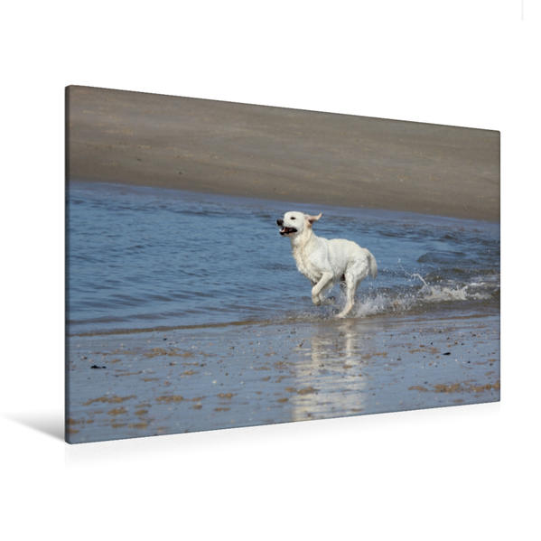 Premium Textil-Leinwand 120 cm x 80 cm quer, Golden Retriever | Wandbild, Bild auf Keilrahmen, Fertigbild auf echter Leinwand, Leinwanddruck - Coverbild