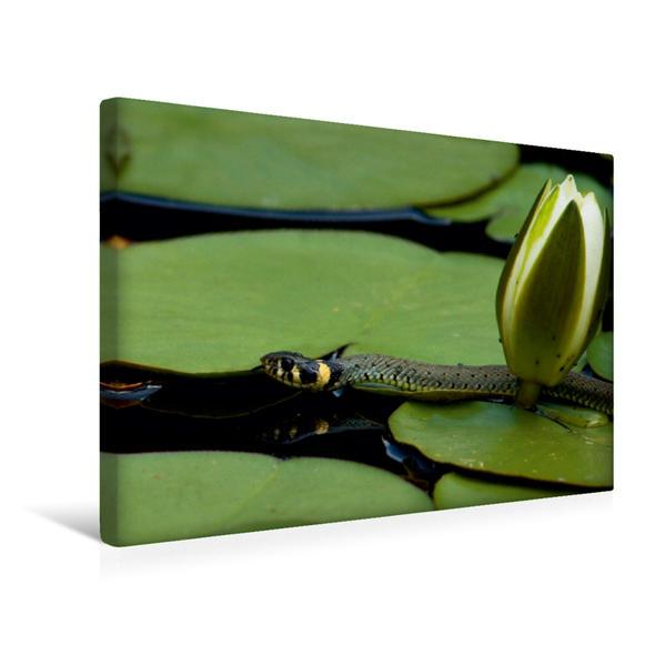Premium Textil-Leinwand 45 cm x 30 cm quer, Ringelnatter und Teichrose | Wandbild, Bild auf Keilrahmen, Fertigbild auf echter Leinwand, Leinwanddruck - Coverbild