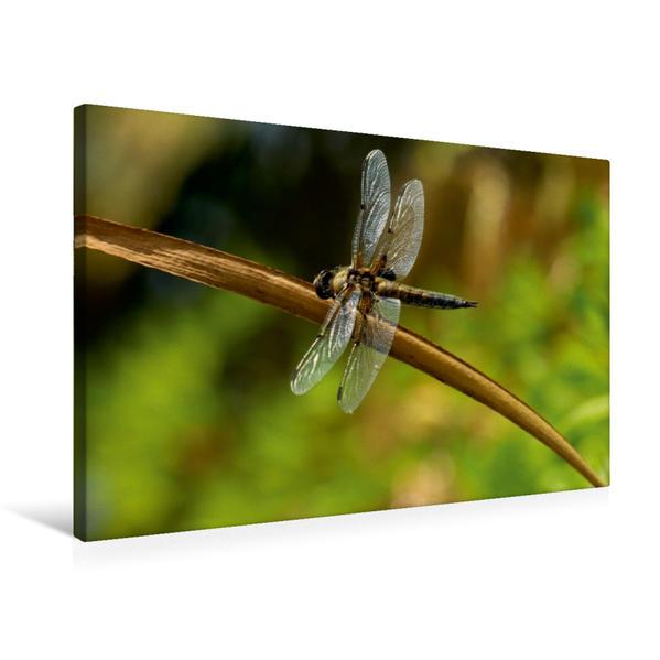 Premium Textil-Leinwand 75 cm x 50 cm quer, Libelle im Sommer | Wandbild, Bild auf Keilrahmen, Fertigbild auf echter Leinwand, Leinwanddruck - Coverbild