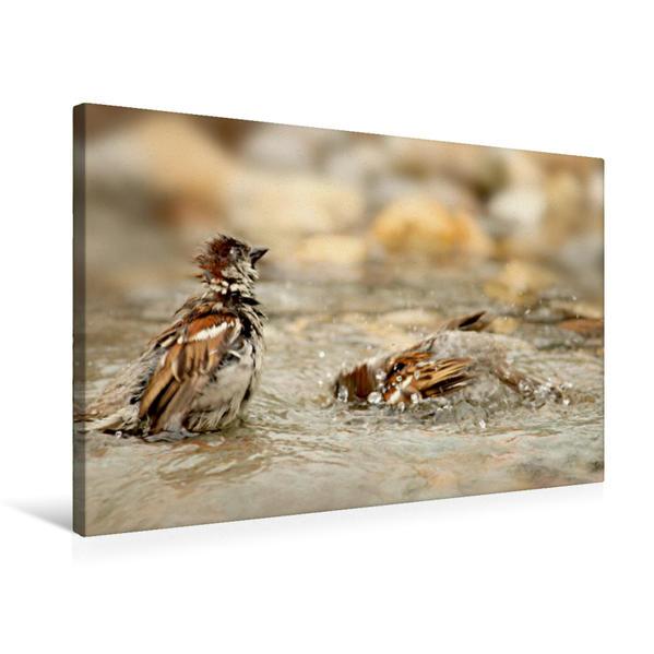 Premium Textil-Leinwand 75 cm x 50 cm quer, Zwei badende freche Spatzen | Wandbild, Bild auf Keilrahmen, Fertigbild auf echter Leinwand, Leinwanddruck - Coverbild