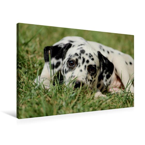 Premium Textil-Leinwand 90 cm x 60 cm quer, Pünktchendalmatiner   Wandbild, Bild auf Keilrahmen, Fertigbild auf echter Leinwand, Leinwanddruck - Coverbild