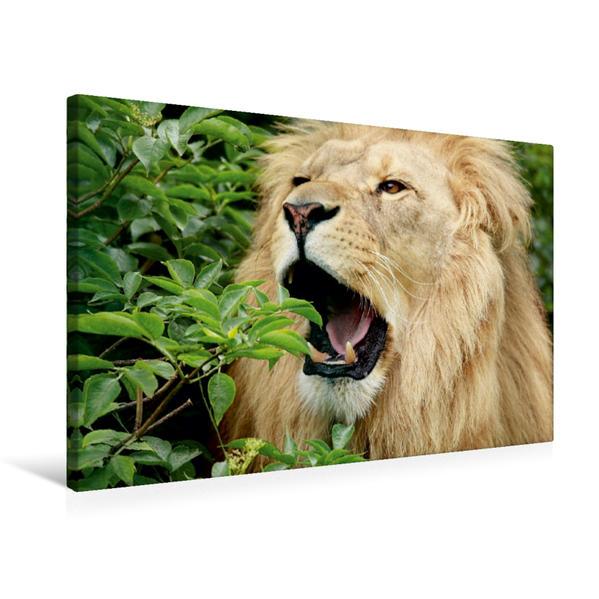 Premium Textil-Leinwand 75 cm x 50 cm quer, Ein Motiv aus dem Kalender Löwen | Wandbild, Bild auf Keilrahmen, Fertigbild auf echter Leinwand, Leinwanddruck - Coverbild