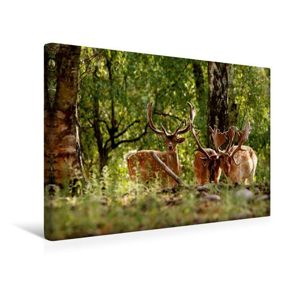 Premium Textil-Leinwand 45 cm x 30 cm quer, Damhirsche | Wandbild, Bild auf Keilrahmen, Fertigbild auf echter Leinwand, Leinwanddruck - Coverbild