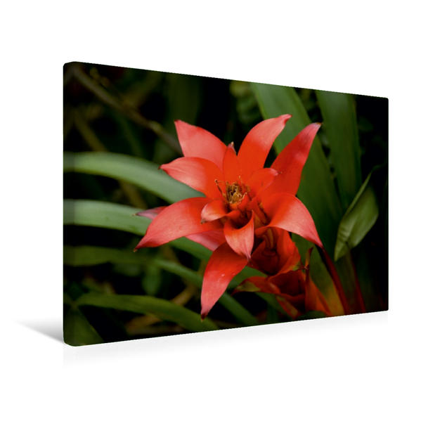 Premium Textil-Leinwand 45 cm x 30 cm quer, Ein Motiv aus dem Kalender Tropische Blütenpracht | Wandbild, Bild auf Keilrahmen, Fertigbild auf echter Leinwand, Leinwanddruck - Coverbild