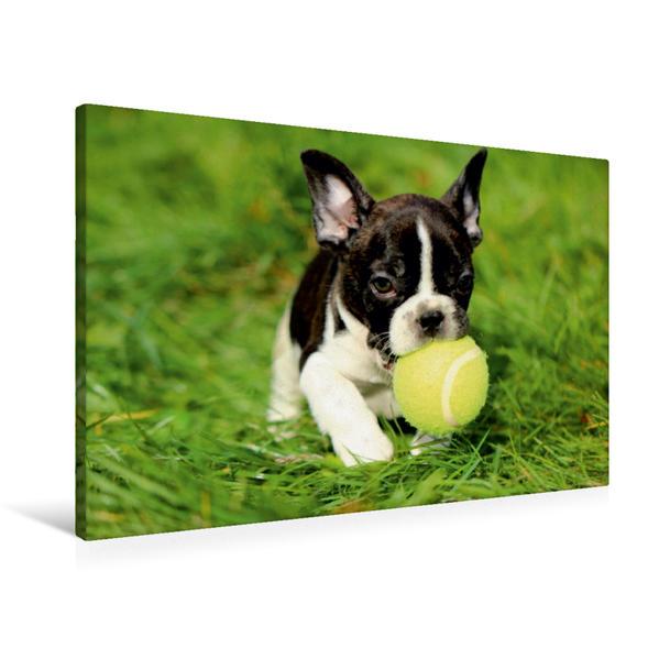 Premium Textil-Leinwand 90 cm x 60 cm quer, Kleiner Französischer Bulldoggenwelpe beim Spielen | Wandbild, Bild auf Keilrahmen, Fertigbild auf echter Leinwand, Leinwanddruck - Coverbild