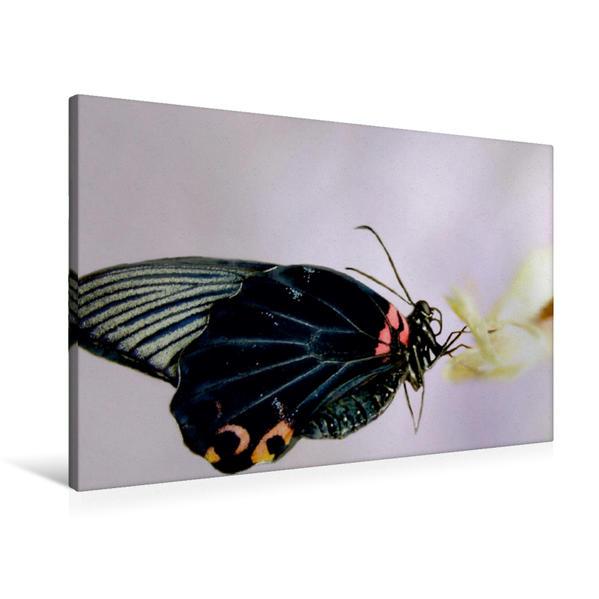 Premium Textil-Leinwand 90 cm x 60 cm quer, Exotischer Schmetterling | Wandbild, Bild auf Keilrahmen, Fertigbild auf echter Leinwand, Leinwanddruck - Coverbild