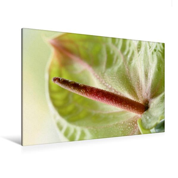Premium Textil-Leinwand 120 cm x 80 cm quer, Anthurie mit Wassertropfen | Wandbild, Bild auf Keilrahmen, Fertigbild auf echter Leinwand, Leinwanddruck - Coverbild