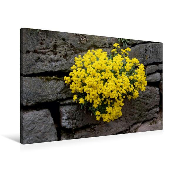 Premium Textil-Leinwand 90 cm x 60 cm quer, Mauerblümchen   Wandbild, Bild auf Keilrahmen, Fertigbild auf echter Leinwand, Leinwanddruck - Coverbild