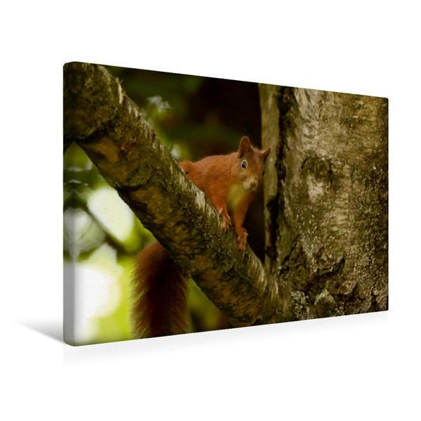 Premium Textil-Leinwand 45 cm x 30 cm quer, Eichhörnchen guckt vom Baum | Wandbild, Bild auf Keilrahmen, Fertigbild auf echter Leinwand, Leinwanddruck - Coverbild