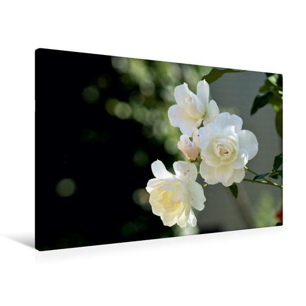 Premium Textil-Leinwand 90 cm x 60 cm quer, Ein Motiv aus dem Kalender Zarte Schönheiten - Rosenblüten | Wandbild, Bild auf Keilrahmen, Fertigbild auf echter Leinwand, Leinwanddruck - Coverbild