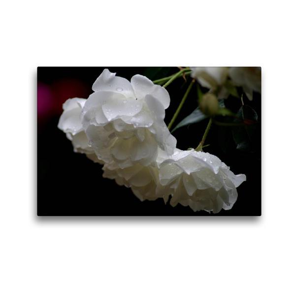 Premium Textil-Leinwand 45 cm x 30 cm quer, Ein Motiv aus dem Kalender Zarte Schönheiten - Herrliche Rosen | Wandbild, Bild auf Keilrahmen, Fertigbild auf echter Leinwand, Leinwanddruck - Coverbild