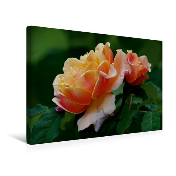 Premium Textil-Leinwand 45 cm x 30 cm quer, Ein Motiv aus dem Kalender Zarte Schönheiten - Bezaubernde Rosenblüten | Wandbild, Bild auf Keilrahmen, Fertigbild auf echter Leinwand, Leinwanddruck - Coverbild