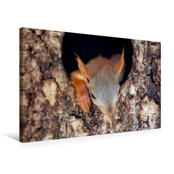 Premium Textil-Leinwand 75 cm x 50 cm quer, Eichhörnchen | Wandbild, Bild auf Keilrahmen, Fertigbild auf echter Leinwand, Leinwanddruck - Coverbild