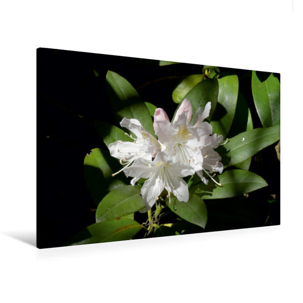 Premium Textil-Leinwand 120 cm x 80 cm quer, Rhododendron   Wandbild, Bild auf Keilrahmen, Fertigbild auf echter Leinwand, Leinwanddruck - Coverbild