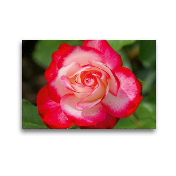 Premium Textil-Leinwand 45 cm x 30 cm quer, Rot weiße Rosenblüte | Wandbild, Bild auf Keilrahmen, Fertigbild auf echter Leinwand, Leinwanddruck - Coverbild