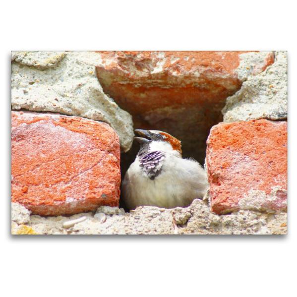 Premium Textil-Leinwand 120 cm x 80 cm quer, Haussperling in der Stadtmauer | Wandbild, Bild auf Keilrahmen, Fertigbild auf echter Leinwand, Leinwanddruck - Coverbild