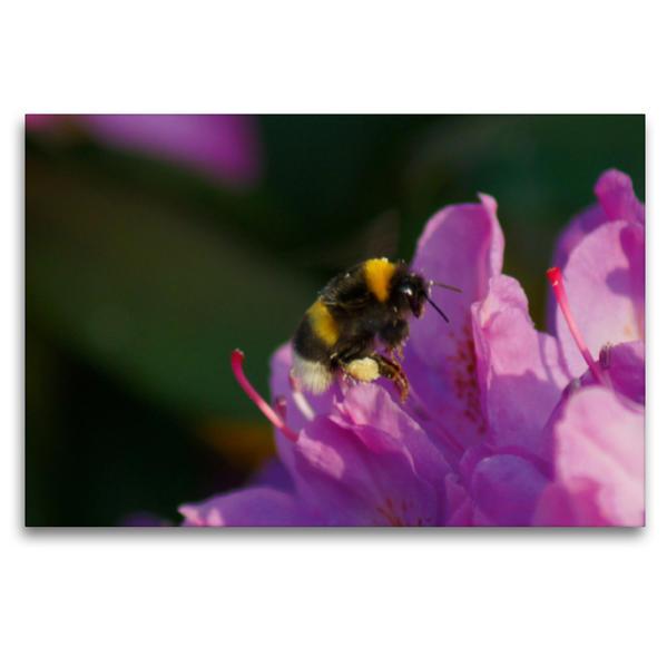 Premium Textil-Leinwand 120 cm x 80 cm quer, Hummel auf rosa Rhododendronblüte | Wandbild, Bild auf Keilrahmen, Fertigbild auf echter Leinwand, Leinwanddruck - Coverbild