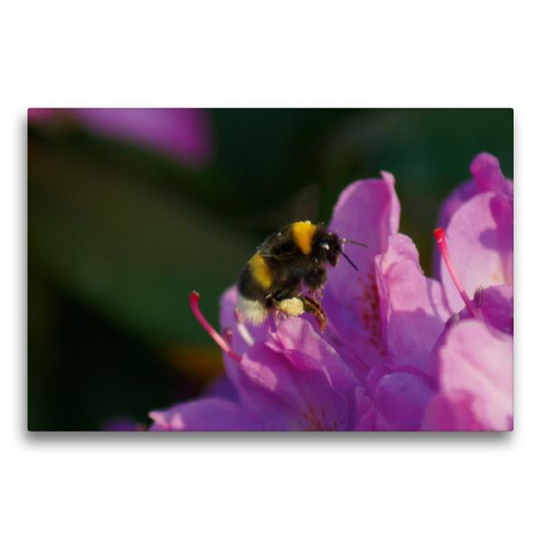 Premium Textil-Leinwand 75 cm x 50 cm quer, Hummel auf rosa Rhododendronblüte | Wandbild, Bild auf Keilrahmen, Fertigbild auf echter Leinwand, Leinwanddruck - Coverbild