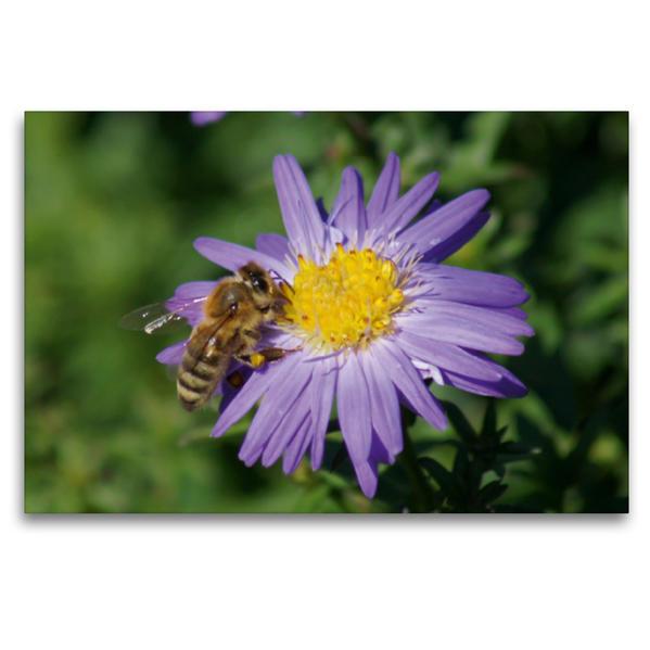 Premium Textil-Leinwand 120 cm x 80 cm quer, Honigbiene auf lila Aster | Wandbild, Bild auf Keilrahmen, Fertigbild auf echter Leinwand, Leinwanddruck - Coverbild