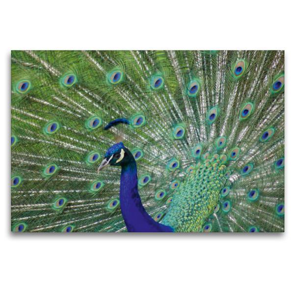 Premium Textil-Leinwand 120 cm x 80 cm quer, Pfauen Balz | Wandbild, Bild auf Keilrahmen, Fertigbild auf echter Leinwand, Leinwanddruck - Coverbild