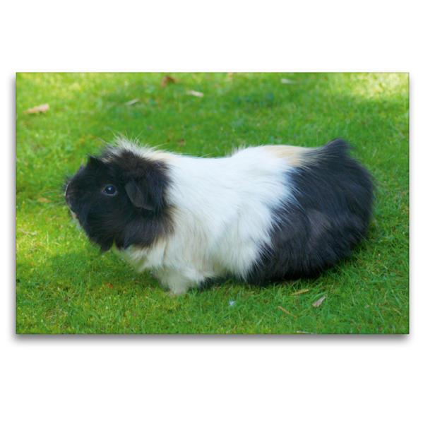 Premium Textil-Leinwand 120 cm x 80 cm quer, Schwarz weißer Rosettenmeerschweinchen Mischling | Wandbild, Bild auf Keilrahmen, Fertigbild auf echter Leinwand, Leinwanddruck - Coverbild