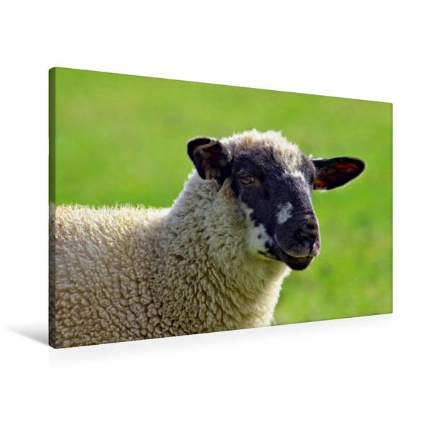 Premium Textil-Leinwand 90 cm x 60 cm quer, Freundliches Schaf | Wandbild, Bild auf Keilrahmen, Fertigbild auf echter Leinwand, Leinwanddruck - Coverbild