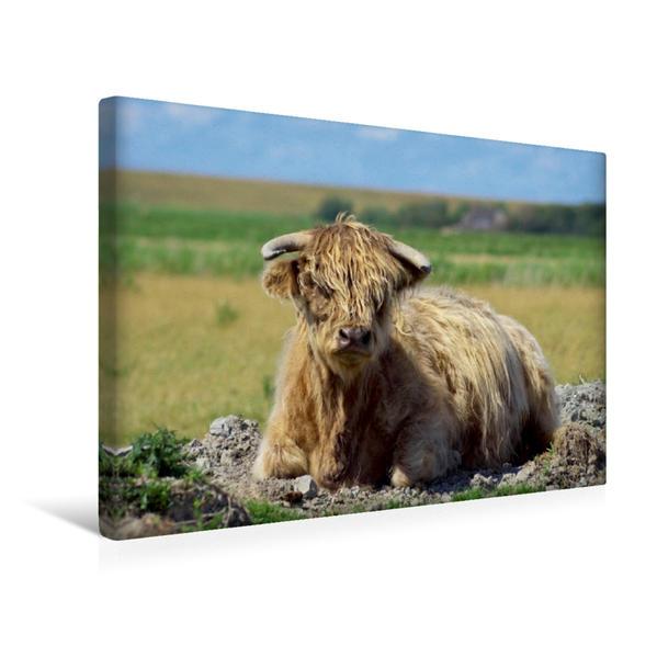 Premium Textil-Leinwand 45 cm x 30 cm quer, Schottisches Hochlandrind   Wandbild, Bild auf Keilrahmen, Fertigbild auf echter Leinwand, Leinwanddruck - Coverbild