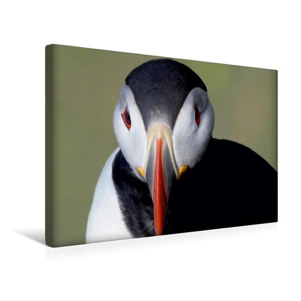 Premium Textil-Leinwand 45 cm x 30 cm quer, Papageientaucher    Island | Wandbild, Bild auf Keilrahmen, Fertigbild auf echter Leinwand, Leinwanddruck - Coverbild