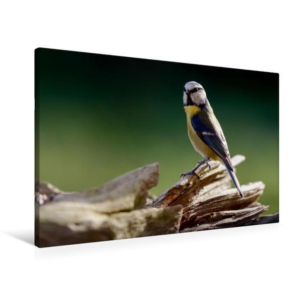 Premium Textil-Leinwand 90 cm x 60 cm quer, Blaumeise auf einem Baumstumpf   Wandbild, Bild auf Keilrahmen, Fertigbild auf echter Leinwand, Leinwanddruck - Coverbild