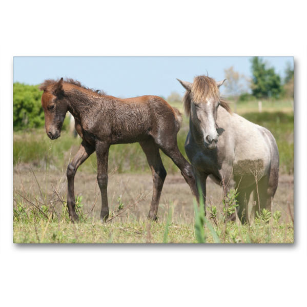 Premium Textil-Leinwand 90 cm x 60 cm quer, Junge Camargue-Pferde im Sumpfgebiet | Wandbild, Bild auf Keilrahmen, Fertigbild auf echter Leinwand, Leinwanddruck - Coverbild