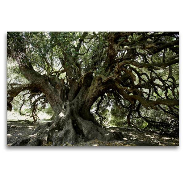 Premium Textil-Leinwand 120 cm x 80 cm quer, Olivenbaum,2000Jahre,Lago di Liscia,Sardinien | Wandbild, Bild auf Keilrahmen, Fertigbild auf echter Leinwand, Leinwanddruck - Coverbild