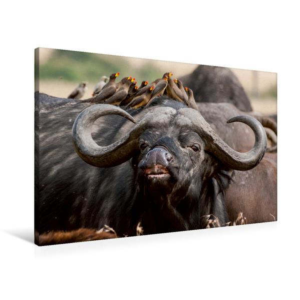 Premium Textil-Leinwand 90 cm x 60 cm quer, März: Tief zieht der Büffel den Duft der umworbenen Büffeldame ein. | Wandbild, Bild auf Keilrahmen, Fertigbild auf echter Leinwand, Leinwanddruck - Coverbild