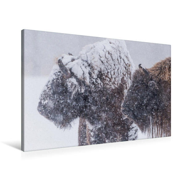 Premium Textil-Leinwand 90 cm x 60 cm quer, Ein Motiv aus dem Kalender Emotionale Momente: Der Wisent. | Wandbild, Bild auf Keilrahmen, Fertigbild auf echter Leinwand, Leinwanddruck - Coverbild