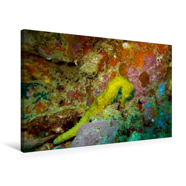 Premium Textil-Leinwand 75 cm x 50 cm quer, Seepferdchen   Wandbild, Bild auf Keilrahmen, Fertigbild auf echter Leinwand, Leinwanddruck - Coverbild
