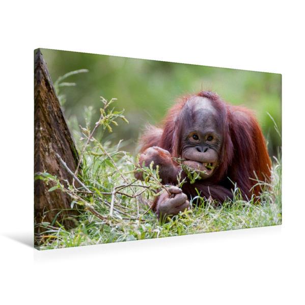 Premium Textil-Leinwand 75 cm x 50 cm quer, Orang Utan | Wandbild, Bild auf Keilrahmen, Fertigbild auf echter Leinwand, Leinwanddruck - Coverbild