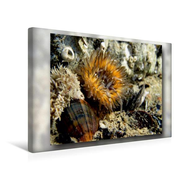 Premium Textil-Leinwand 45 cm x 30 cm quer, Ein Motiv aus dem Kalender Seeanemonen | Wandbild, Bild auf Keilrahmen, Fertigbild auf echter Leinwand, Leinwanddruck - Coverbild