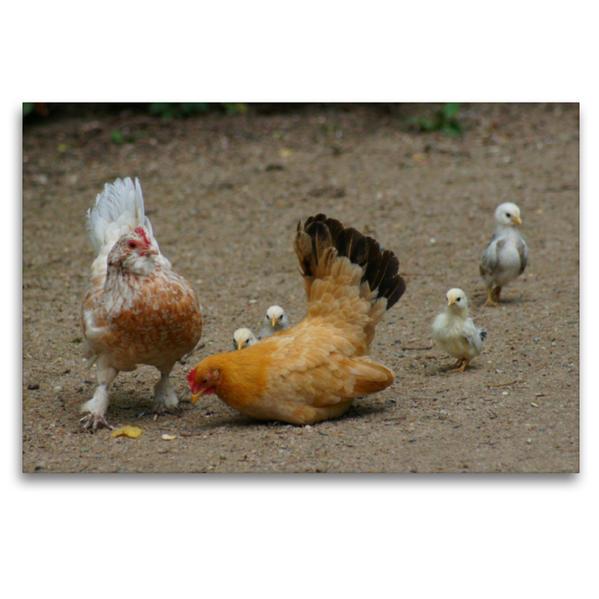 Premium Textil-Leinwand 120 cm x 80 cm quer, Lustige Hühnerschar | Wandbild, Bild auf Keilrahmen, Fertigbild auf echter Leinwand, Leinwanddruck - Coverbild