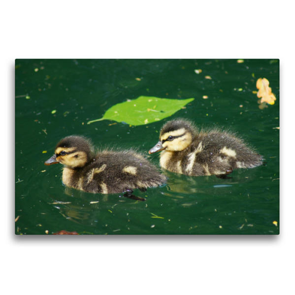 Premium Textil-Leinwand 75 cm x 50 cm quer, Zwei niedliche Entenküken | Wandbild, Bild auf Keilrahmen, Fertigbild auf echter Leinwand, Leinwanddruck - Coverbild