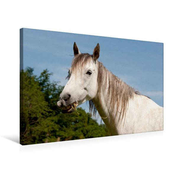 Premium Textil-Leinwand 75 cm x 50 cm quer, Ein Motiv aus dem Kalender Lustiger Schimmel - ein Pferd mit Humor | Wandbild, Bild auf Keilrahmen, Fertigbild auf echter Leinwand, Leinwanddruck - Coverbild