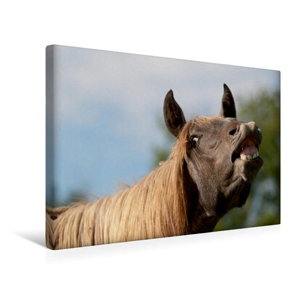 Premium Textil-Leinwand 45 cm x 30 cm quer, Flehmender Andalusier Junghengst | Wandbild, Bild auf Keilrahmen, Fertigbild auf echter Leinwand, Leinwanddruck - Coverbild