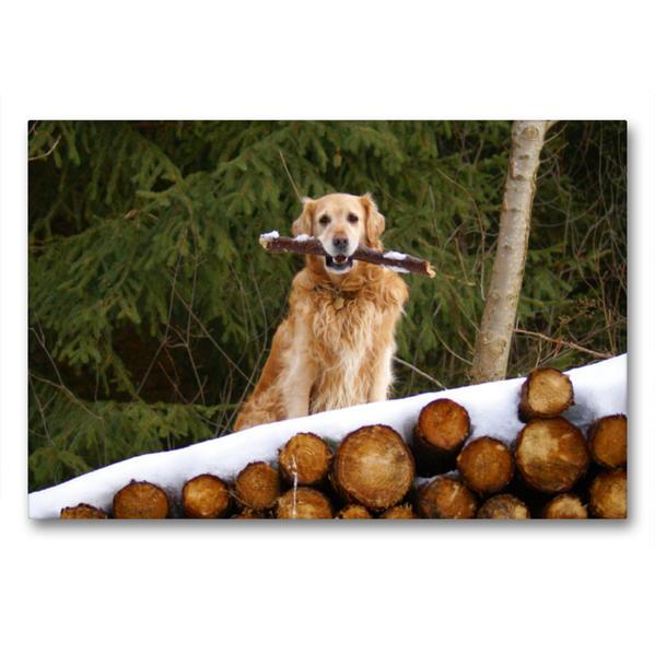 Premium Textil-Leinwand 90 cm x 60 cm quer, Golden Retriever im Winter | Wandbild, Bild auf Keilrahmen, Fertigbild auf echter Leinwand, Leinwanddruck - Coverbild